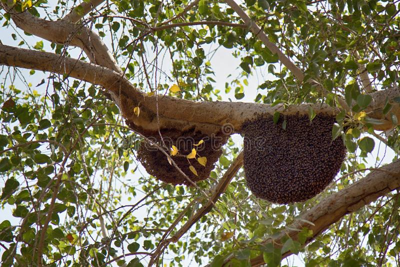 Bees swarm on tree branches. Swarming behavior, colonies, diameter of nest of wax honeycombs about meter. Jaisalmer, Great Indian desert Thar, parkland. Indian stock photos