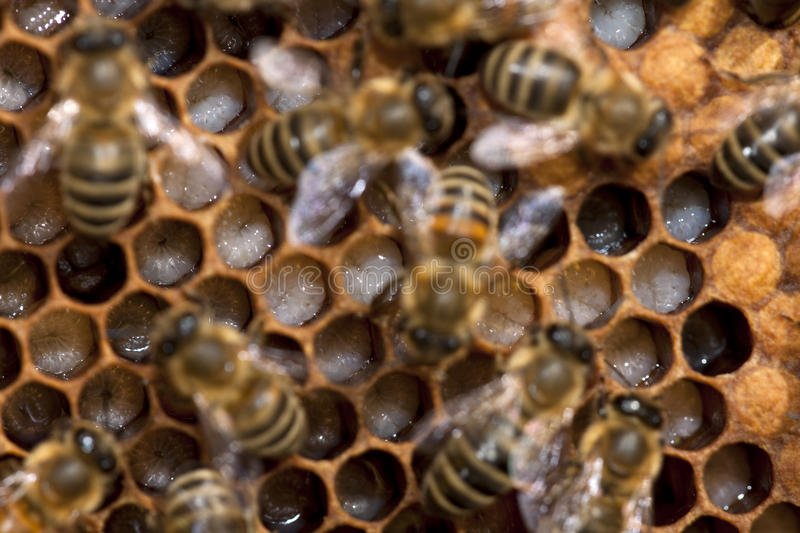 Bees Taking Care Of Bee-larva Royalty Free Stock Photo