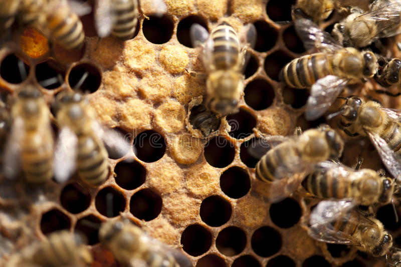 Bees Taking Care Of Bee-larva Stock Photo