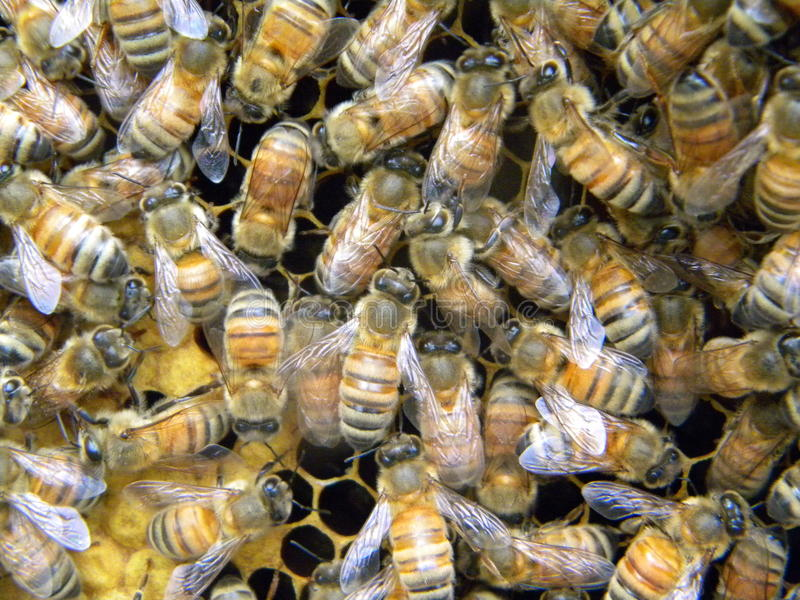 Bees tending brood stock photo. Image of frames, comb - 98344538