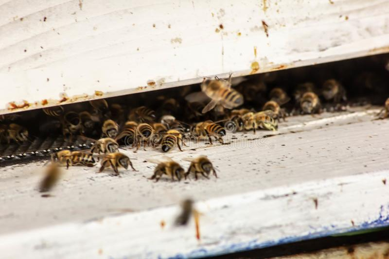 Bees in their urns intent on their work. there are those who cool whoever defends. these small insects are very important for the. Earth`s ecosystem stock images