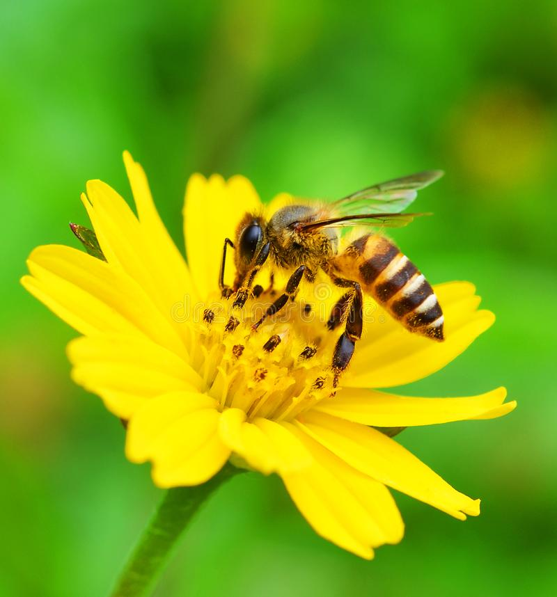 Bees to a flower. royalty free stock photos