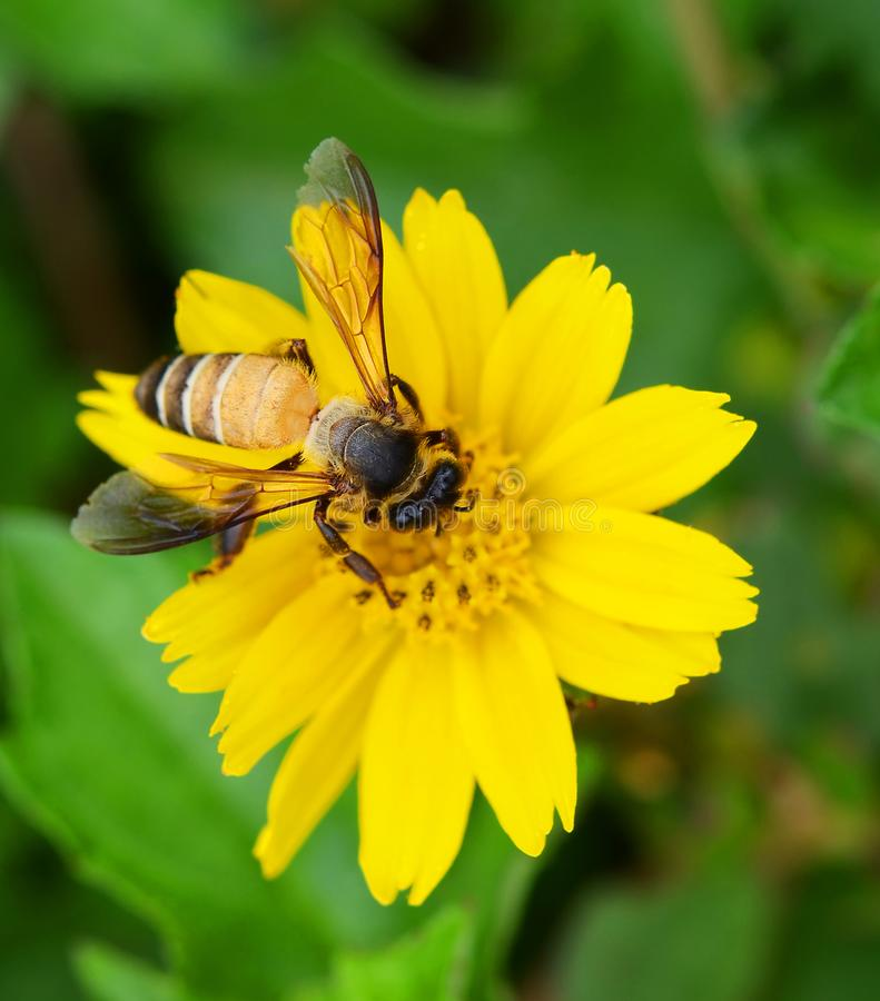 Bees to a flower. stock photography