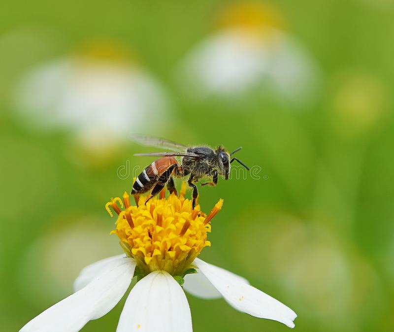 Bees to a flower. royalty free stock images