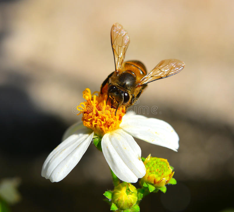 Bees to a flower. stock image