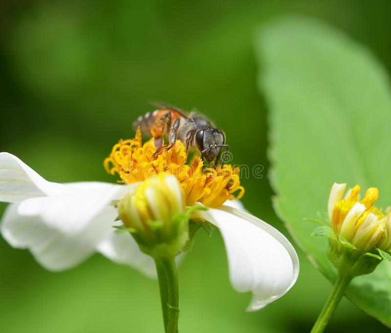 Bees to a flower. royalty free stock photography