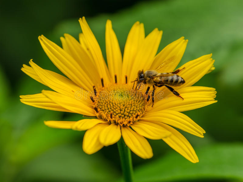 Bees to a flower stock image