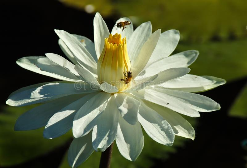 Bees in a tropical wild white waterlily. Bees collect pollen in a tropical wild white waterlily with a yellow center royalty free stock photos