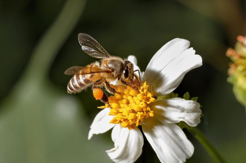 Bees on white flowers have yellow stamens.  royalty free stock photography