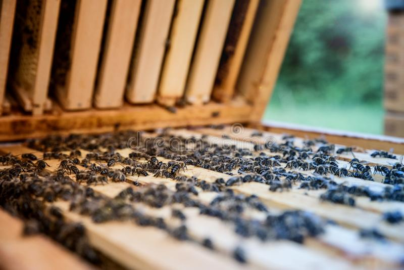 Bees on wooden frame filled with honey comb. Beekeeping concept. stock photography