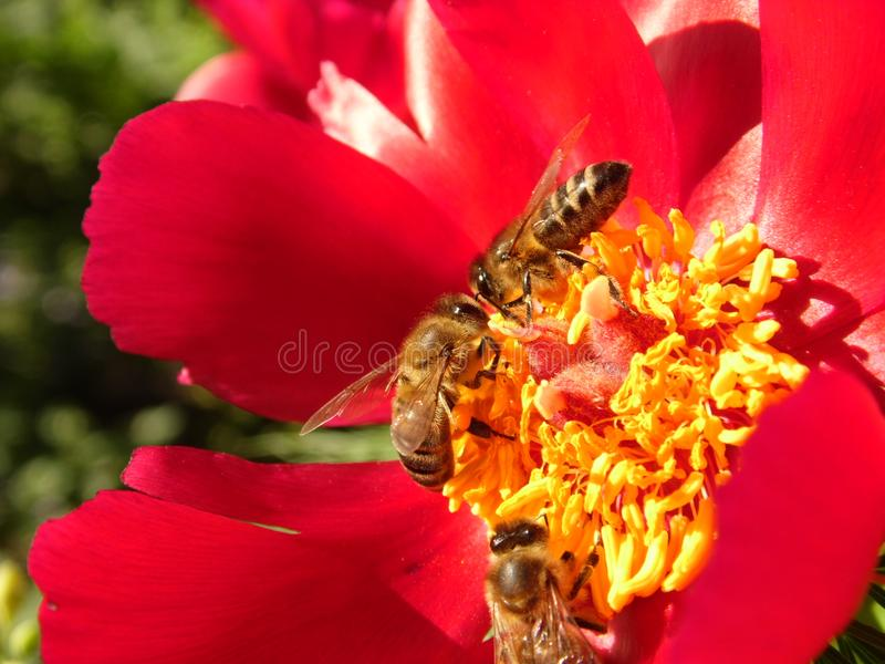 Bees at work. Three little robotic bees collect pollen on a beautiful red flower in my garden on a sunny day royalty free stock image