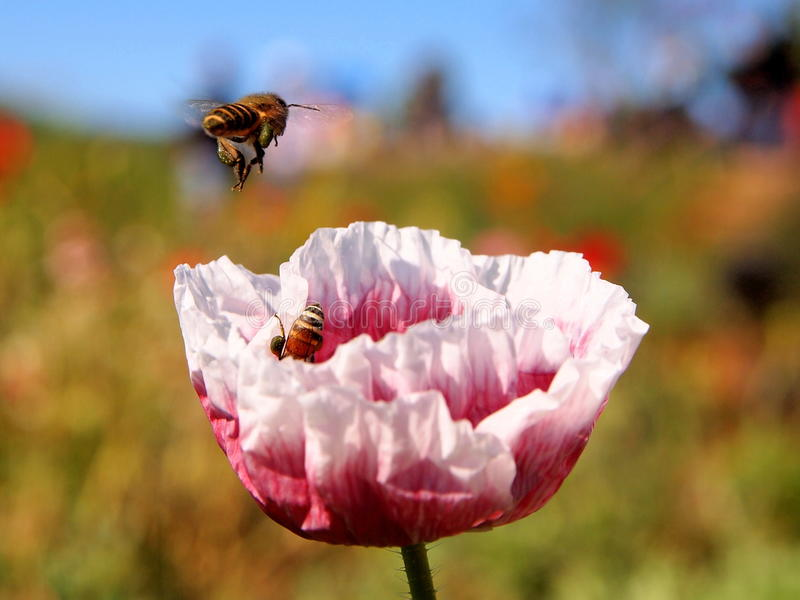 Bees working with colourful flower stock image