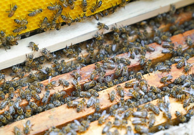 Bees working on wooden frames of a bee hive to produce honey stock image