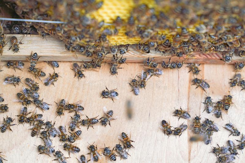 Bees working on wooden frames of a bee hive to produce honey royalty free stock images