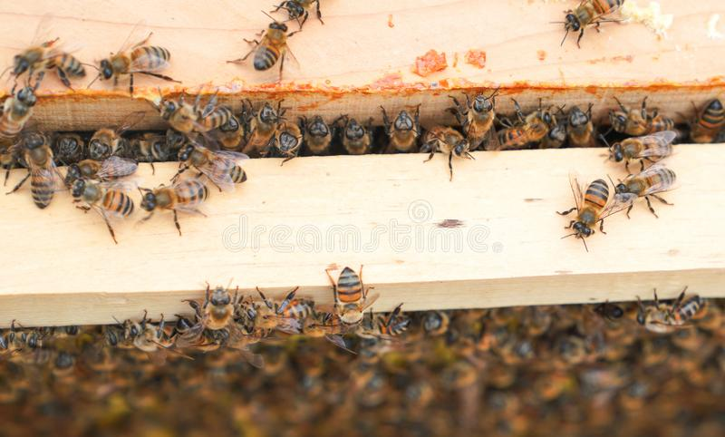 Bees working on wooden frames of a bee hive to produce honey stock photos
