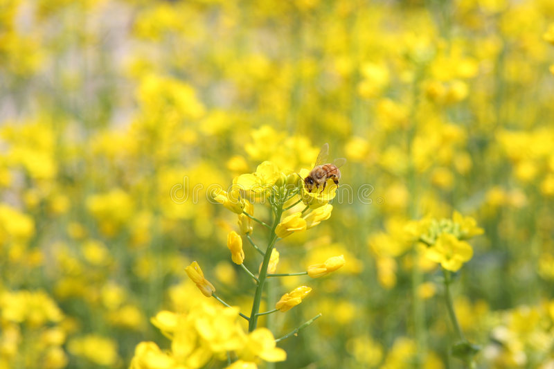 Bees and yellow flower stock photo