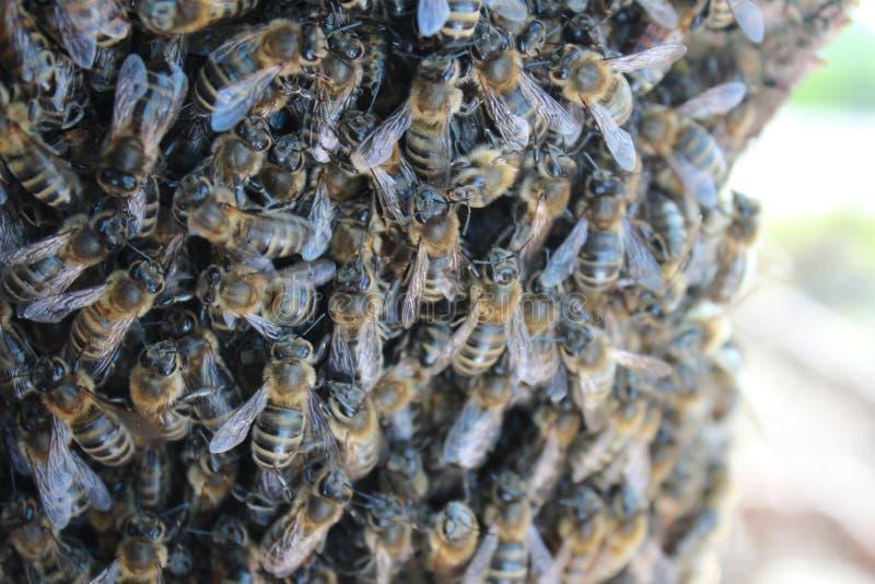 Beeswarm стоковые фотографии rf