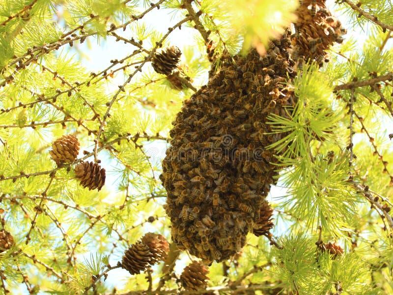 Beeswarm стоковое изображение rf