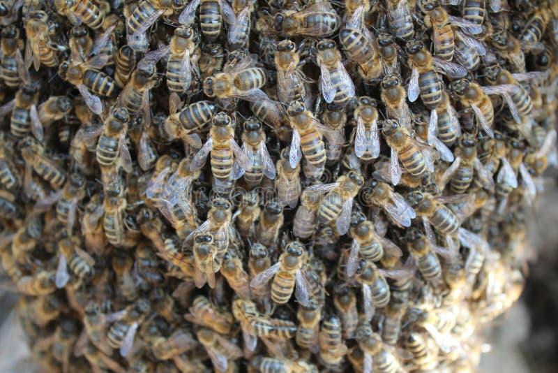 Beeswarm стоковое изображение