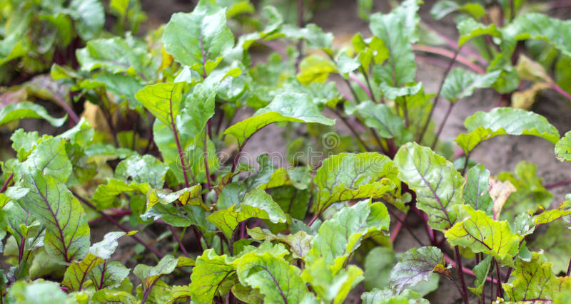 Beet bed on a kitchen garden. At the farmer stock photo