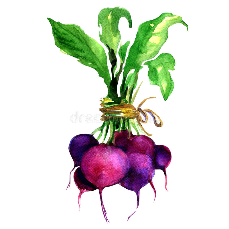 Beet, beetroot with leaves isolated on white royalty free illustration