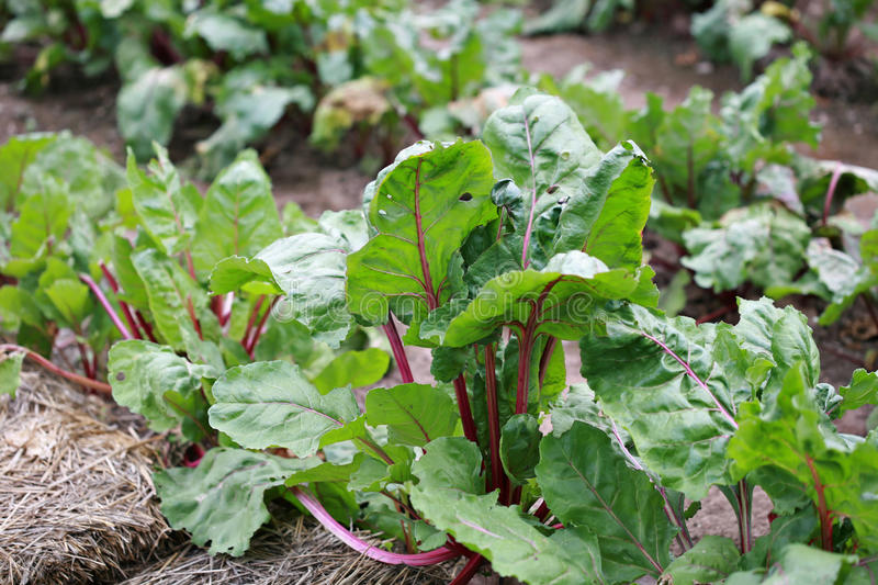 Beet Greens From Rural Garden Royalty Free Stock Photography