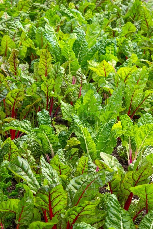 Beet growing in a vegetable garden. Beet growing in a fresh and healthy vegetable garden stock photo
