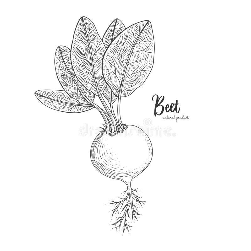 Beet hand drawn vector illustration. Isolated vegetable engraved style object. Detailed vegetarian food drawing. Farm royalty free illustration