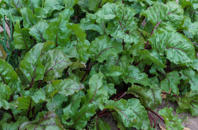Beet leaves on a garden bed in a garden royalty free stock photography