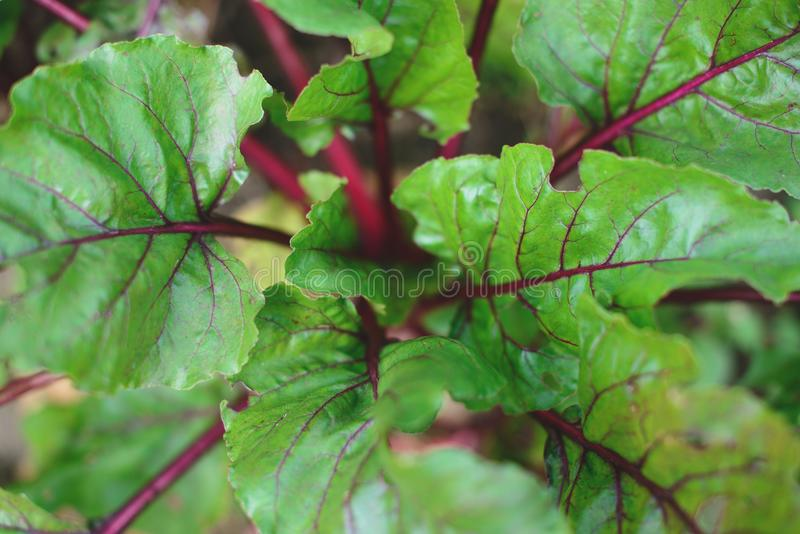 Beet leaves at the garden, close up, top view. stock images