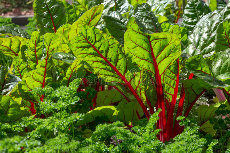 Beet leaves in sunlight. Fresh and healthy vegetable garden royalty free stock image