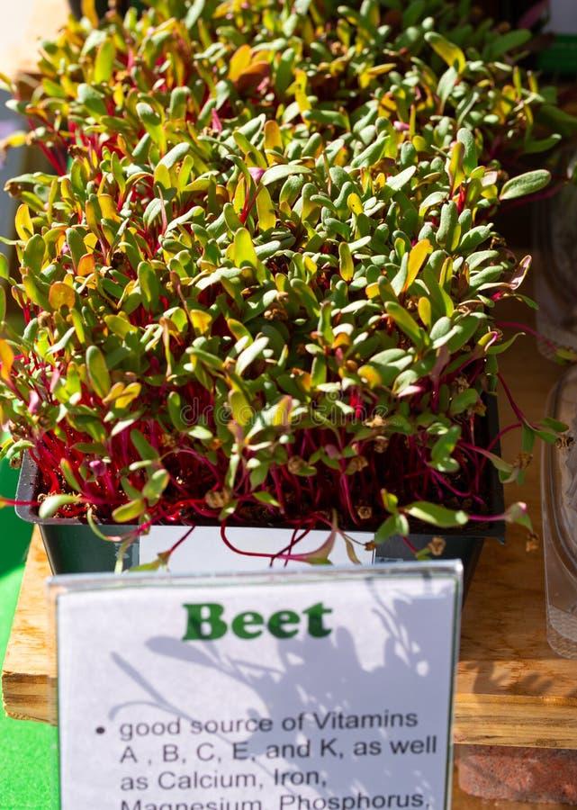 Beet Micro greens at a local market stock image