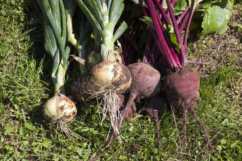 beet and onions royalty free stock photos