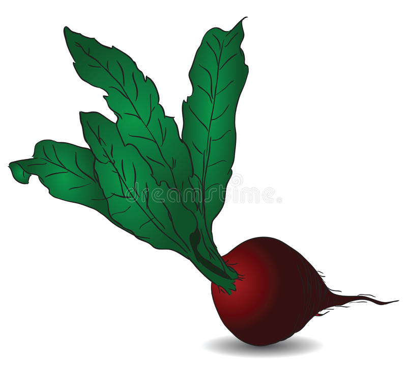 Beet. Raw red beets with green tops. Vector illustration without trace stock illustration
