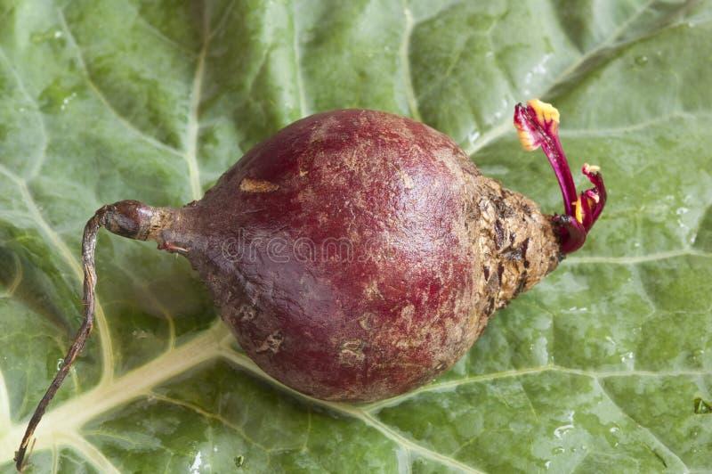 Download Beet root stock photo. Image of closeup, collard, arrangement - 16930642