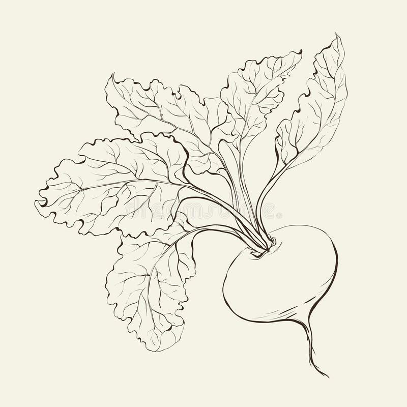 Beet root. Beet root isolated on white. Vector illustration royalty free illustration