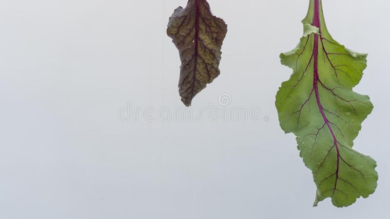 Beet root leaves of different colour and size neatly arranged in Plain white background. royalty free stock photos