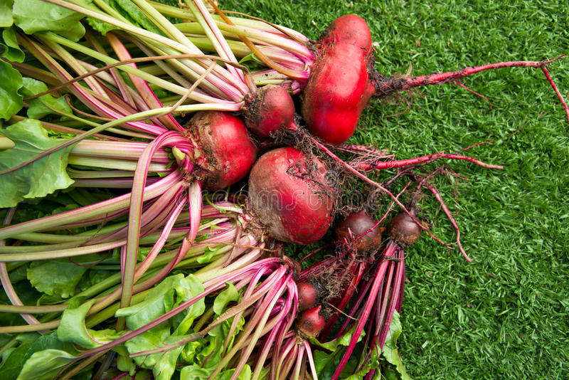 Beet roots. Fresh organic beets just picked from the garden shot on green grass stock photos