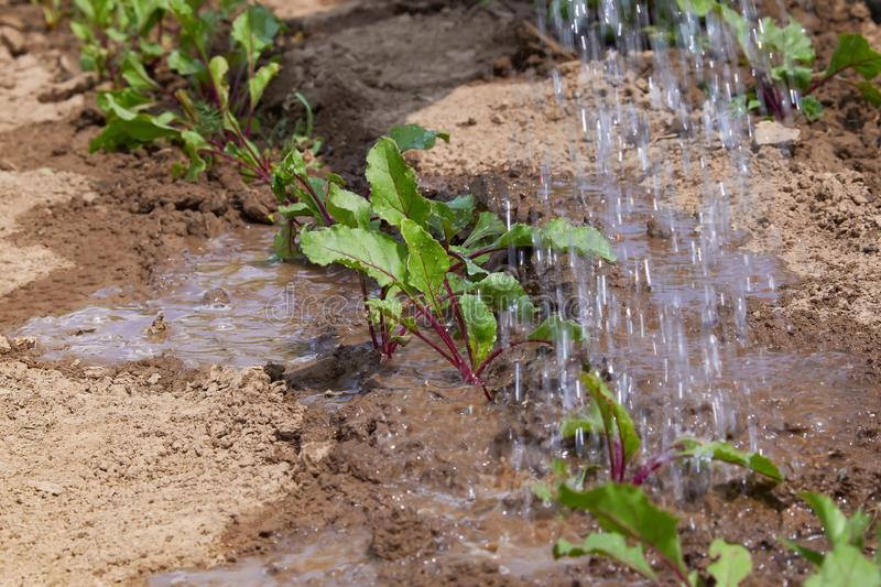 Beet sprouts in the field and farmer is watering them; seedlings in the farmer`s garden, agriculture stock photos