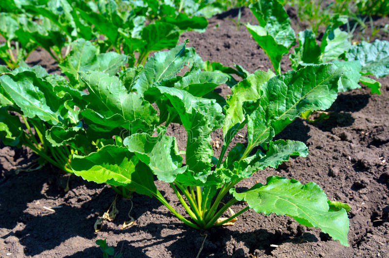 Beet tops on the background soils stock image