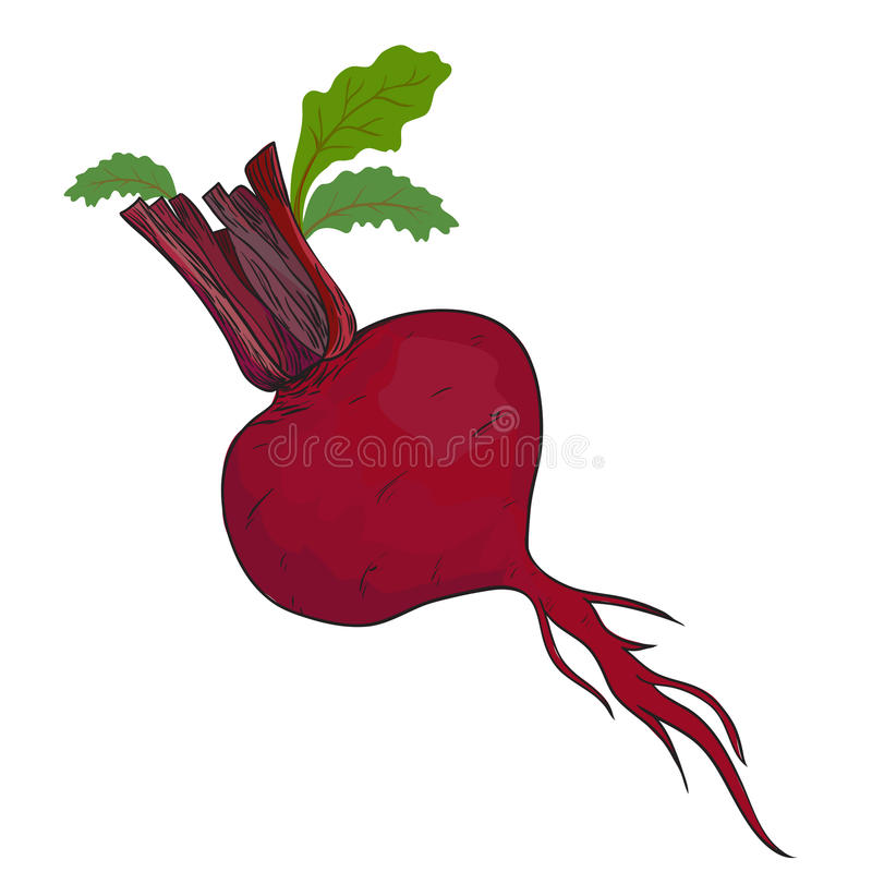 Beet vector. Beet isolated in. This is file of EPS10 format royalty free illustration