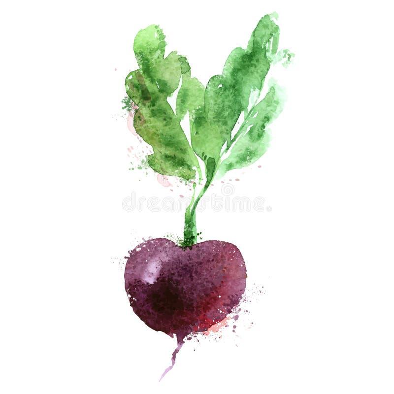 Beet vector logo design template. vegetables or. Watercolor drawing. vegetables on a white background. vector illustration stock illustration