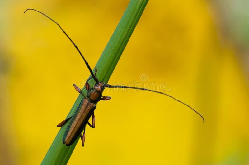 Beetele lång horned lång antenn arkivfoto