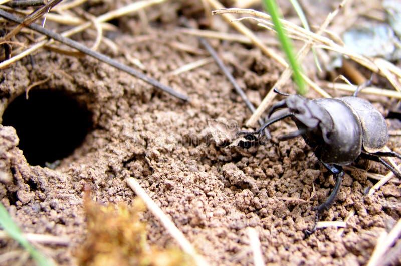 Beetle_001 stock afbeelding