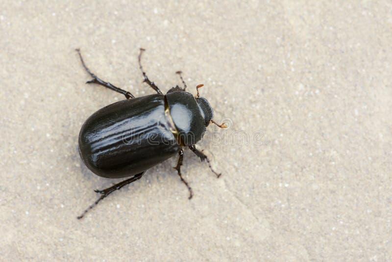 Beetle royalty free stock image