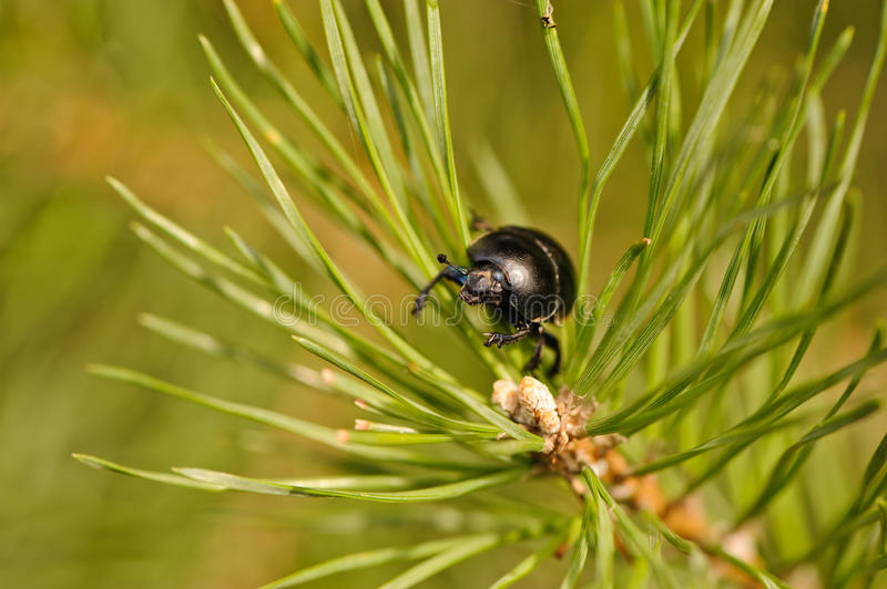 Download Beetle stock image. Image of geotrupes, beetle, close - 26609795