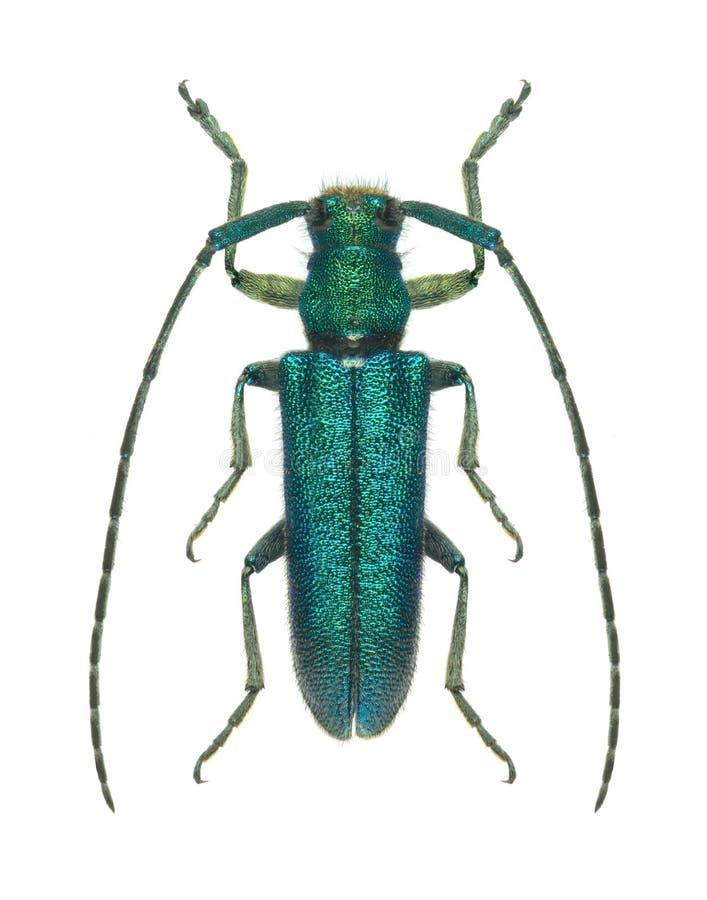 Free Beetle Agapanthia Lais Stock Image - 21791761