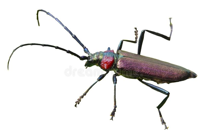 Beetle barbel. additional file png. stock photography