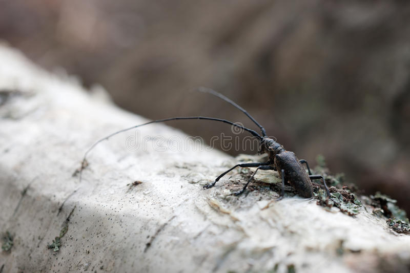 Download Beetle with big antennae stock photo. Image of black - 25958542