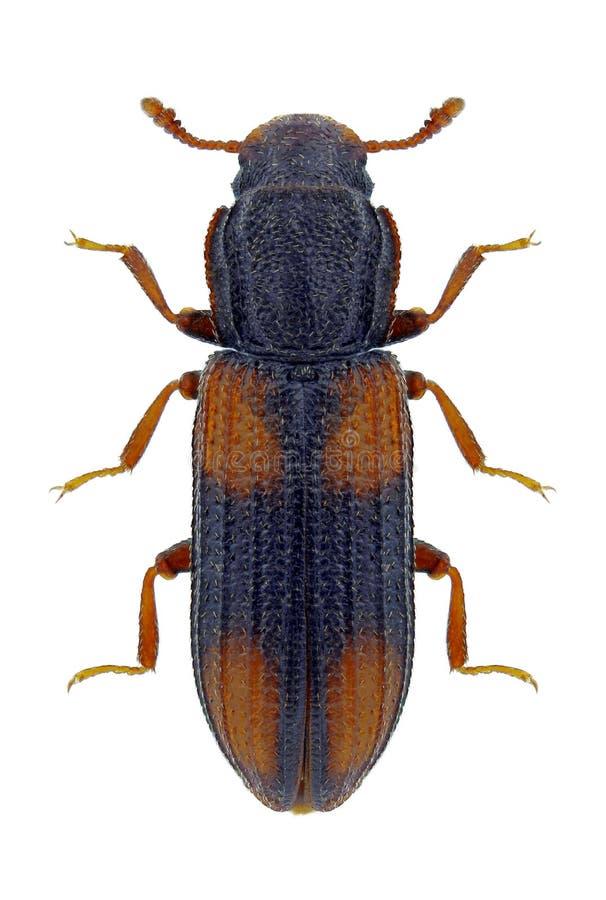 Beetle Bitoma crenata. On a white background royalty free stock photo